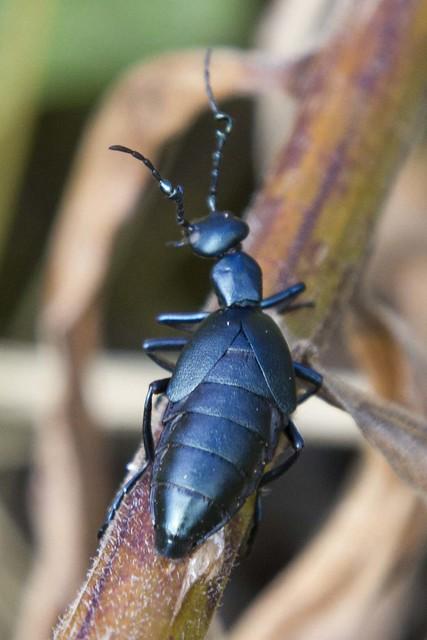IMG_6440Blister Beetle