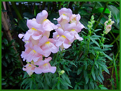 Pastel pink Antirrhinum majus (Common Snapdragon, Garden Snapdragon, Snapdragon, Dragon Flowers) in our garden, Nov 30 2013