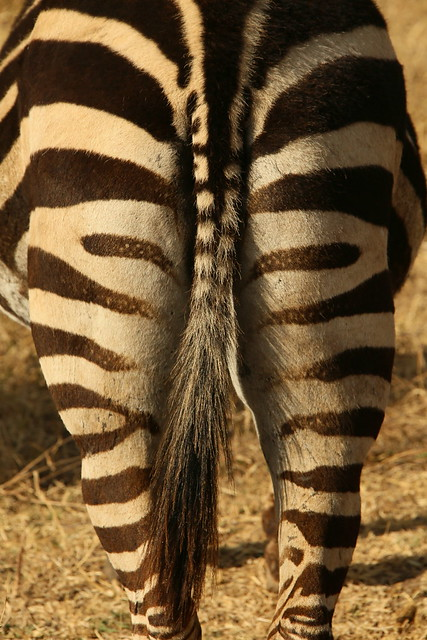 A Mooning Zebra.