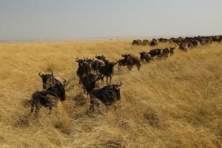 Wildebeest.