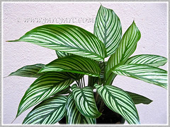 Calathea elliptica 'Vittata' was added to our garden collection in April 14 2014