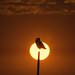 Sunrise--Burrowing Owl by MistyDaze