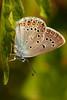 Polyommatus Amanda ♂ -  Amanda's Blue