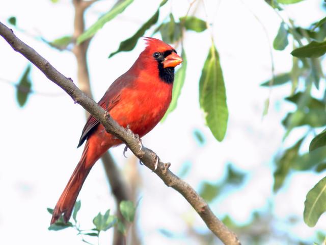 Cardinal HDR 20151209