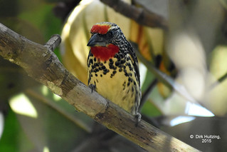 Black-spotted Barbet 19247gb