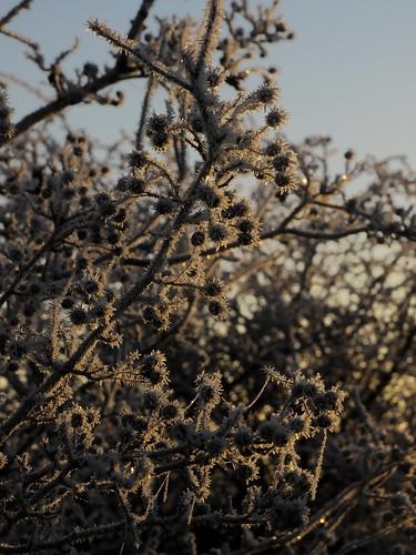 An der Treene an einem frostigen Morgen - kräftig bereifter Weißdorn; Norderstapel, Stapelholm (2)