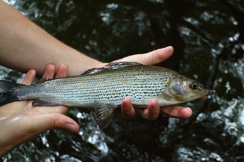 Sheffield Grayling