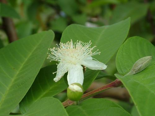 guava easttimor timorleste psidium psidiumguajava myrtaceae