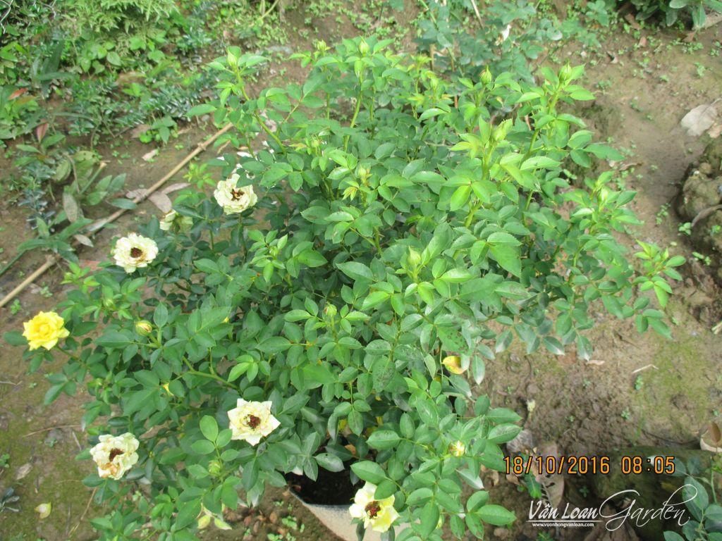 IMG_9658-vuonhongvanloan.com