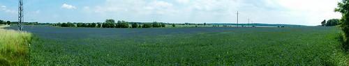 Lupinenfeld vor Schollene