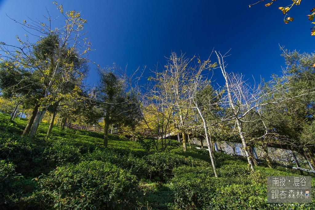 銀杏森林13