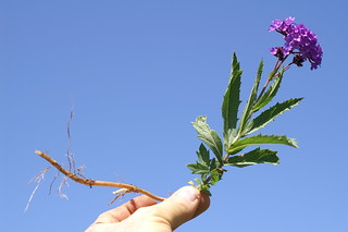 Verbena rigida plant4