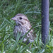 Sparrow 01 20150816 Hiding Behind The Pole by Woody Woodsman