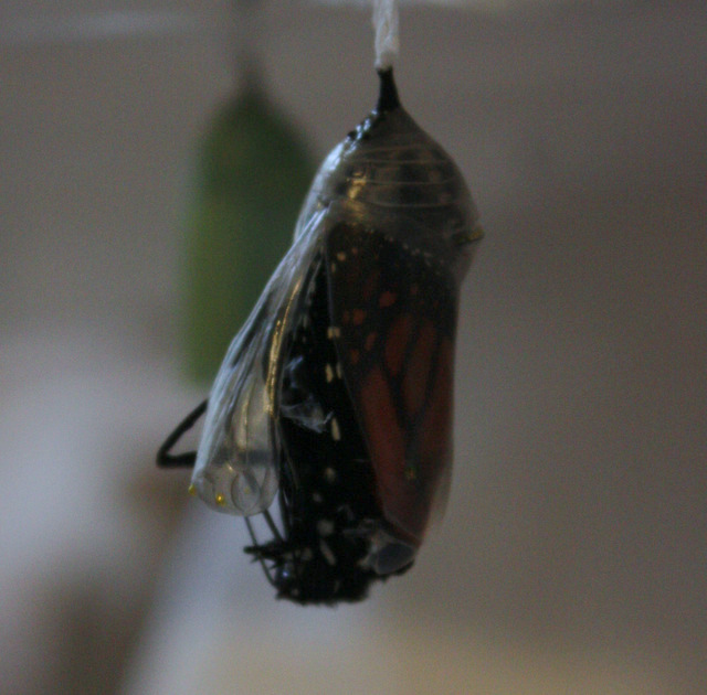 chrysalis from the side, with one folded leg poking out