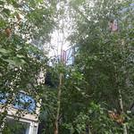 peeking through the birches