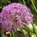 Allium by Robert F. Carter Travels