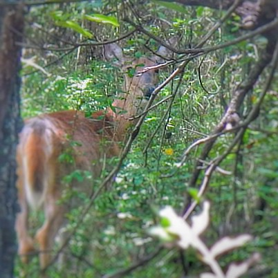 White Tail Deer at Oxley