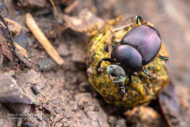Dung beetle (Scarabidae) - DSC_4396