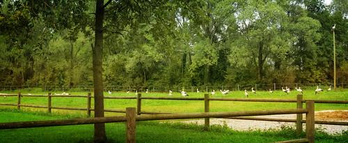 trees italy bird nature fence italia meadow stork cegonha cigüeña friuli storch ooievaar hff fagagna cicogne gtreen cicogna oasideiquadris feagne