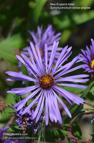 New England Aster, Michaelmas-daisy - Symphyotrichum novae-angliae