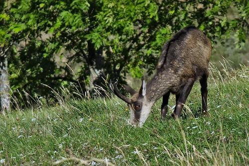 animal prairie commune chamois faune approche chêvre drôme traitement rhônealpes broutte gigorsetlozeron darktable fujixs