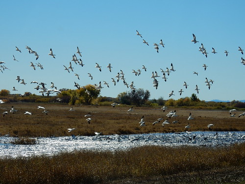 Bosque del Apache NWR - fly-out of snow geese