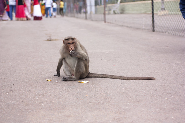 monkey @ chawamundi hill