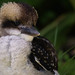 Kookaburra-1-2 by sg_harrison