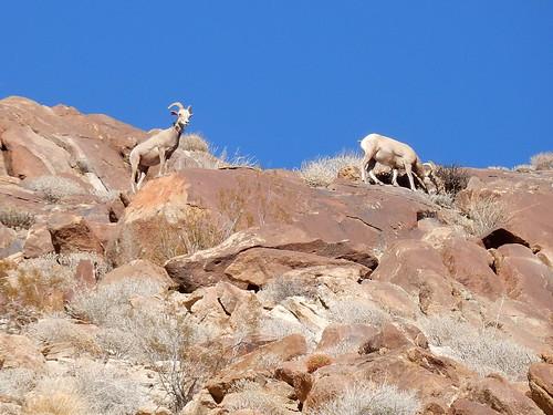 Borrego Palm Canyon Trail - bighorn sheep