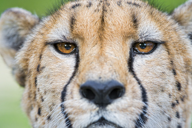 Closeup portrait of a cheetah
