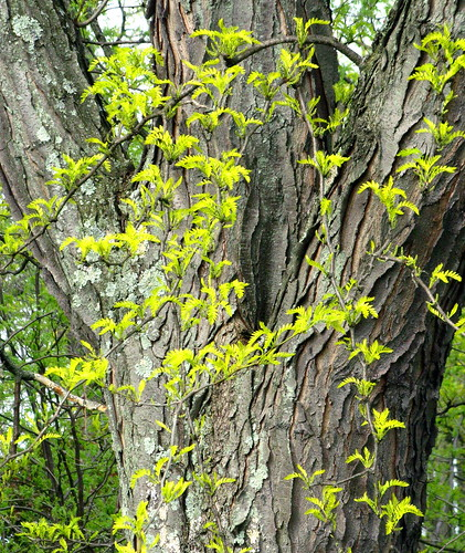 Spring Renewal: New Leaves, Old Trunk