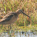 Short billed Dowitcher (Jane Howsam)