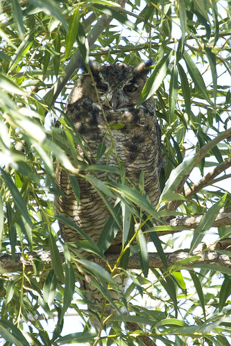 california greathornedowl bubovirginianus
