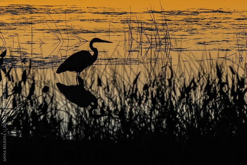 Sunrise heron, Lake Massabesic