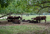 Cows lounge at National Colonial Farm by JasonianPhotography