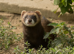 animal, weasel, mustelidae, mammal, fauna, polecat, black footed ferret, mink, wildlife, ferret,