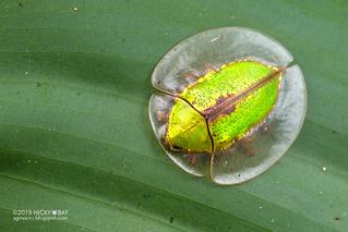 Tortoise beetle (Platycycla deruta) - DSC_9135