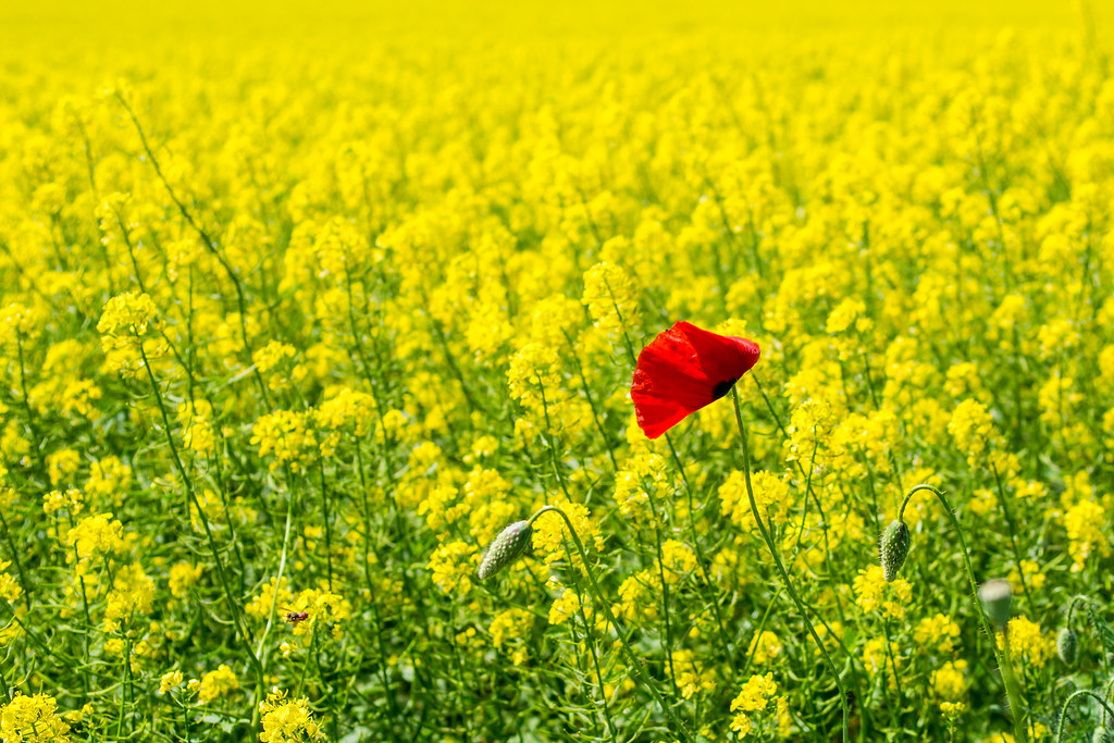Single red in a sea of yellow...