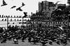 pigeons by paluszekrulez