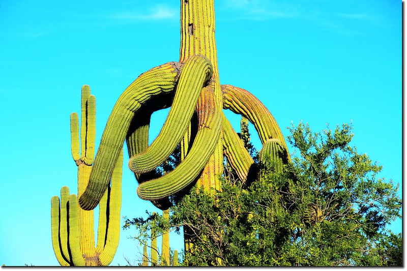 Saguaros growing along the Desert Discovery Nature Trail 5