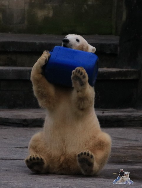 Eisbär Fiete im Zoo Rostock 05.12.2015  281
