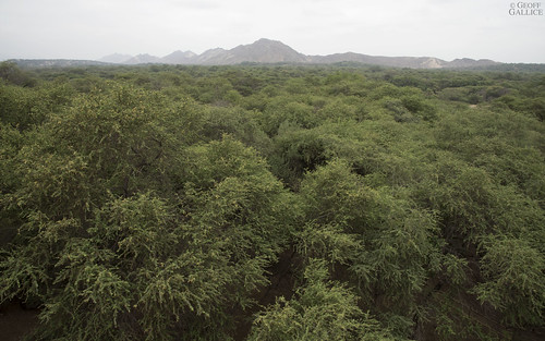 southamerica perú fabaceae algarrobo lambayeque ferreñafe prosopis tropicaldryforest bosquedepomac huacalasventanas bosquesecoecuatorial santuariohistóricobosquedepómac zonaarqueológicamonumentalbatángrande equatorialdryforest