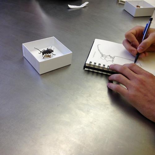 A student begins sketching a beetle specimen.