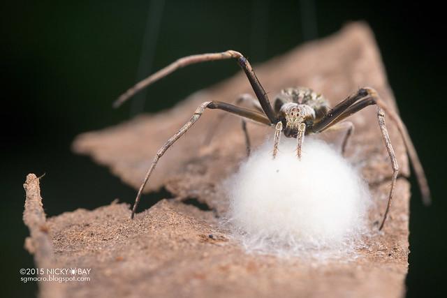 Orb weaver spider (Acacesia sp.) - DSC_2593