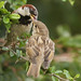 HOUSE SPARROW (M) feeding Juv. / Garden/ Minster / Nr Ramsgate /Kent / UK. by Tom Webzell
