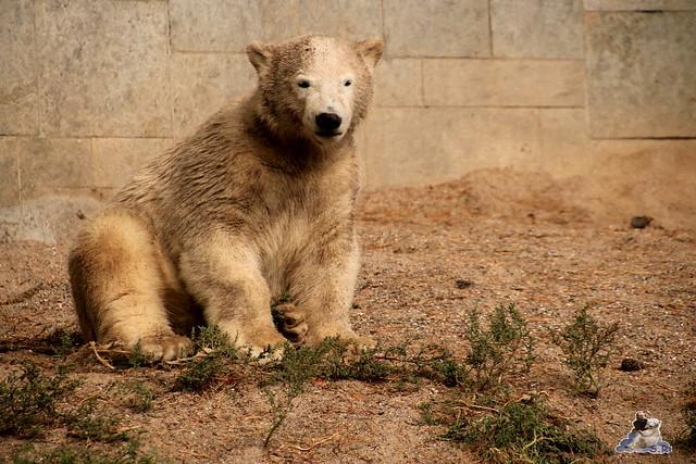 Eisbär Fiete im Zoo Rostock 06.09.2015  0248