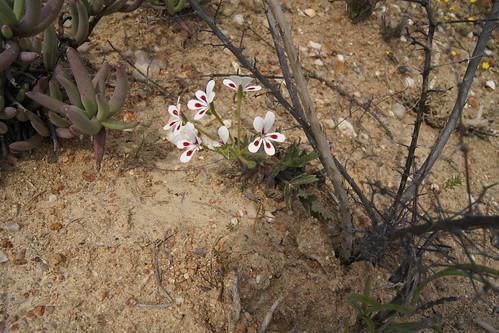 Pelargonium pulchellum
