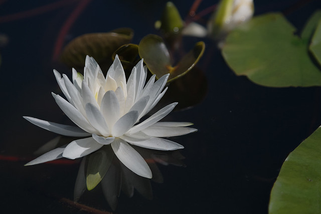 RUS49720(White Water Lily)