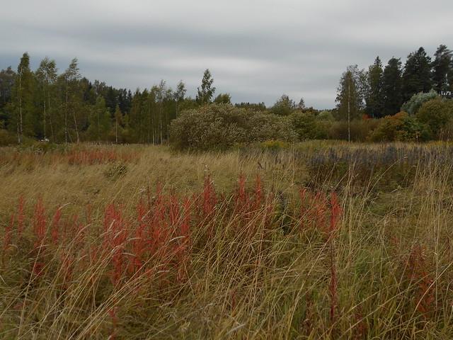 Niittynäkymiä syksyllä; ruskaiset maitohorsmat pilvisellä säällä 15.9.2015 Espoo Leppäsilta