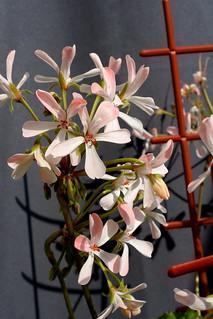 Pelargonium 'Martha', zonartic